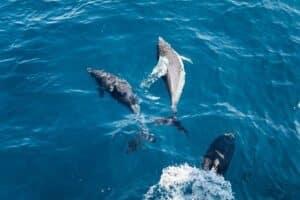 amantes-animales-azores-cetaceos